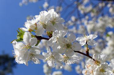 Bild mit Kirschblüten, Kirsche, blüte, Kirschblüte, Sauerkirsche