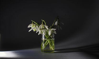 Bild mit Pflanzen, Blumen, Blume, Pflanze, Flower, Flowers, Schneeglöckchen, Galanthus, Leucojum vernum, Frühlingsknotenblume, Schnee Glöckchen