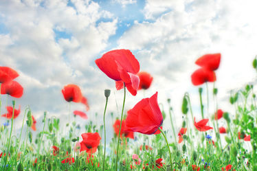 Bild mit Natur, Blumen, Mohn, Blume, Pflanze, Mohnblume, Klatschmohn, Mohnfeld, Feld, Mohnblumen