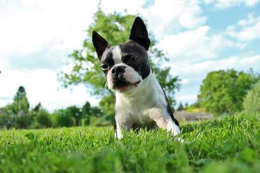 Boston Terrier 3