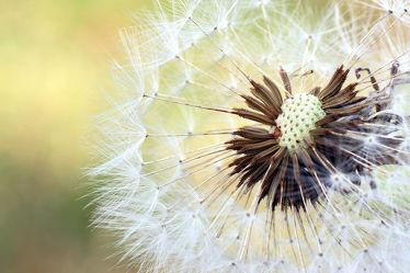 Bild mit Natur, Pflanzen, Blumen, Sommer, Blume, Pflanze, Makro, Wiese, Löwenzahn, Pusteblume, wiesenblumen, Pusteblumen, garten, nahaufnahme, Wiesen, wiesenblume, nahaufnahmen, Magisch
