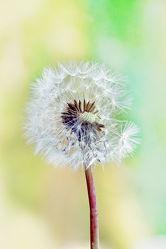 Bild mit Natur, Pflanzen, Blumen, Sommer, Blume, Pflanze, Wiese, Löwenzahn, Pusteblume, wiesenblumen, Pusteblumen, garten, Wiesen, wiesenblume, Magisch