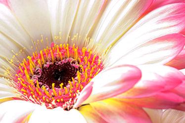 Bild mit Pflanzen, Blumen, Gerberas, Blume, Pflanze, Makro, Gerbera, blüte