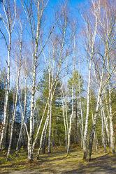 Bild mit Natur, Bäume, Birken, Wald, Baum, Birke, Nadelbaum, Landschaft, Forest, Laubbaum