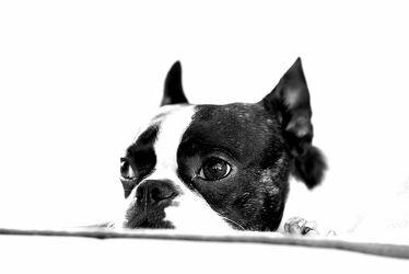 Bild mit Hunde, Hund, Dog, Rassehund, Boston Terrier, Bosti, Familienhund, Hundebild, Hundebilder