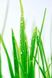 Bild mit Makrofotografie, Makro, Gras, Wassertropfen, Regentropfen, nahaufnahme, Grashalm