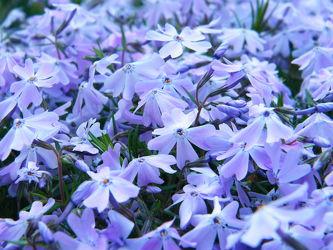 Bild mit Natur, Blumen, Violett, Blau, Blume, Flower, Blüten, blüte, Blumenblüten, blaue Blüten