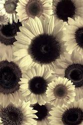 Bild mit Pflanzen,Blumen,Sonnenblumen,Blume,Pflanze,Sonnenblume,Blüten,VINTAGE