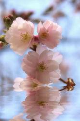 zauberhafte Zierkirschenblüten