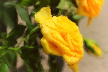 gelbe Rosen