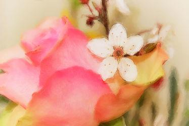 Rose küsst Zierkirsche