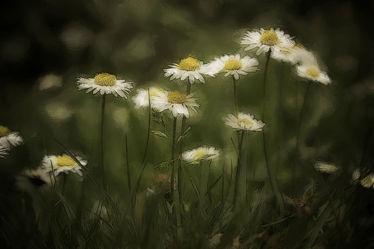 Gänseblümchen auf einer Waldwiese