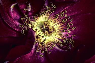 Bild mit Blumen, Rosen, Blume, Rose, Flower, Blüten, Makroaufnahmen, blüte