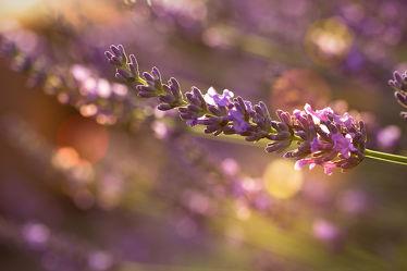 Bild mit Natur,Pflanzen,Blumen,Lavendel,Blume,Pflanze,Flora,Blüten,Tapete,blüte,fototapete,Lavendelzweig,Lavendelblüte