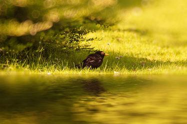 Bild mit Natur,Vögel,Federn,DagmarGiers,Gefieder,Animal,Naturfotografie,Naturfotografie,Fotografie,Umwelt,Enten und Vögel,Amsel,Amselmännchen