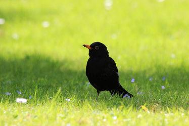 Bild mit Natur,Vögel,Federn,DagmarGiers,Gefieder,Animal,Naturfotografie,Fotografie,Umwelt,Amsel,Amselmännchen