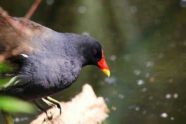 Bild mit Tiere, Natur, Wasser, Gewässer, Vögel, Vögel, Tier, Naturfotografie, Teichhuhn