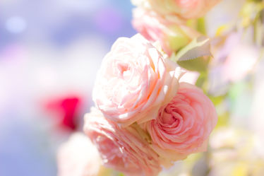 Bild mit Pflanzen,Blumen,Rosen,Blume,Pflanze,Rose,Flower,Flowers,Gartenrosen,DagmarGiers,Dagmarmarina