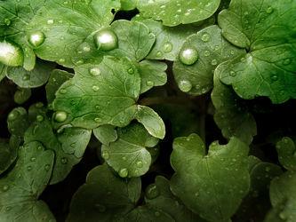 Blätter mit Wassertropfen
