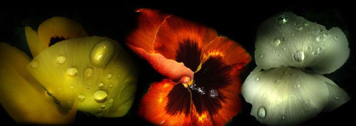 Bild mit Pflanzen, Blumen, Blume, Pflanze, Tulpe, Tulpen, Wassertropfen, Wasserperlen, Tropfen