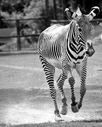 Bild mit Tiere, Tier, Lebewesen, Afrika, Tierwelt, Zebra, Zebras, schwarz weiß, SW