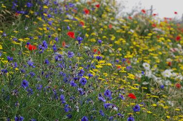 Bild mit Natur, Gräser, Blumen, Mohn, Gras, Wiese, Feld, Felder, Wildblumen, Mohnblumen, Blumenwiesen, garten, Wiesen, Weide, Weiden, Kornblume, Kornblumen, wildblume