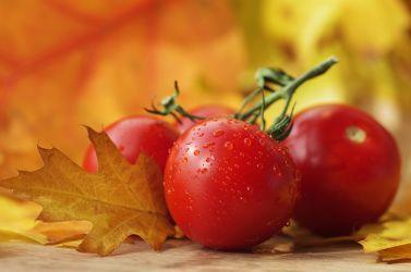 Frische Tomaten immer ein Genuss