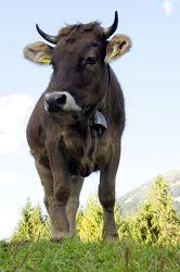 Bild mit Tiere, Berge, Kühe, Tier, berg, Weide, Weiden, Kuh, Tierbild, Tierbilder, Bergwiesen