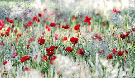 Sommer Liebe Mohnblumenwiese