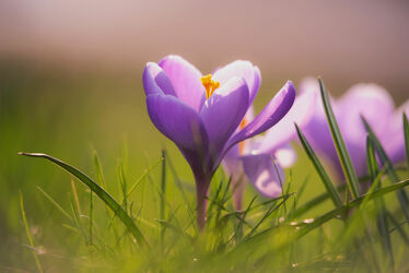 Bild mit Natur, Natur, Blumen, Violett, Wiese, frühlingsblumen, Frühling`s Gefühle, WOHNEN, frühblüher, Blütezeit
