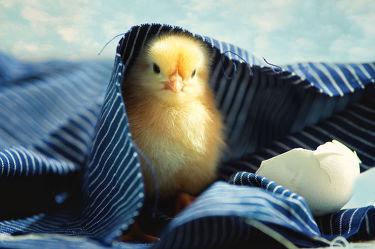 Bild mit Tiere, Hühner, Tier, Kinderzimmer, Huhn, küken, Tierkinder, Eier, Ei, Tierbild, Tierbilder, Tierkind, Hühnerküken