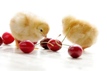 Bild mit Tiere, Früchte, Frühling, Frucht, Obst, Küchenbild, Stillleben, Küchenbilder, Ostern, KITCHEN, Küche, küken, Kirschen