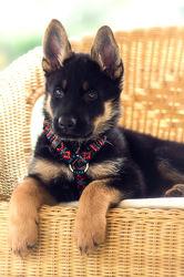 Bild mit Tiere, Hunde, Tier, Hund, Dog, Hundebild, belgischer Schäferhund, Schäferhund, Schäferhunde, Amerikanischer Schäferhund