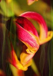 Tulpe hinterm Vorhang