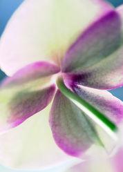 Anemone backside