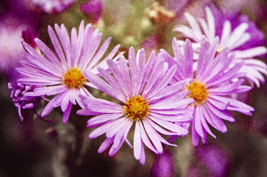 Asters trio