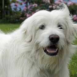 Bild mit Tiere, Hunde, Tier, Hund, Hundebild, Tiere und Tierkinder, Maremmano Abruzzese