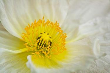 Herz der Mohnblüte