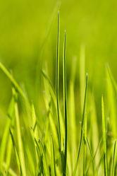 Bild mit Pflanzen, Gräser, Pflanze, Gras, Wiese, Wiesen, Weide, Weiden, Grashalm, Grashalme