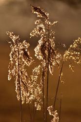 Bild mit Pflanzen, Gräser, Sonnenuntergang, Pflanze, Gras, Feld, Felder, Teich, Weide, wiesengräser
