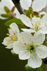 Kirschblüten 3
