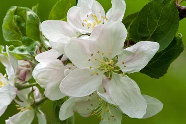 Apfelblüten 2