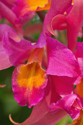 Orchidee in pink 2