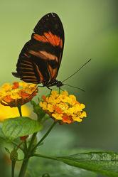 Bild mit Tiere, Pflanzen, Blumen, Insekten, Insekten, Schmetterlinge, Tier, Blume, Pflanze, Blüten, Raupen und Schmetterlinge, Schmetterling, blüte, Insekt