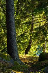 Bild mit Natur, Nadelbäume, Wälder, Sonne, Wald, Nadelbaum, Ruhe, Skandinavien, Erholung, Umwelt, Moos, Naturschutz, Wildnis
