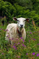 Bild mit Tiere, Natur, Tier, Wiese, Fauna, Skandinavien, Schaf, landwirtschaft, Rasse, Haustier, wolle, weidetier, hausschaf, wiederkäuer, schafzucht