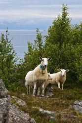 Bild mit Tiere, Natur, Felsen, Tier, Wiese, Fauna, Skandinavien, Schafe, Schaf, landwirtschaft, Rasse, Haustier, Lamm, Lämmer, wolle, weidetier, hausschaf, wiederkäuer, schafzucht, felsenlandschaft