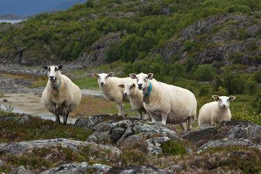 Schafe in der Felsenlandschaft Norwegens