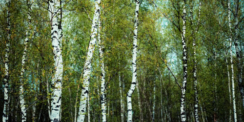 Bild mit Natur, Bäume, Wälder, Wälder, Herbst, Birken, Wald, Baum, Birke, VINTAGE, birkenbäume