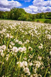 a field of blowballs